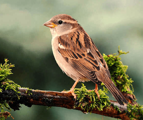 State bird of Bihar (House sparrow) - complete detail